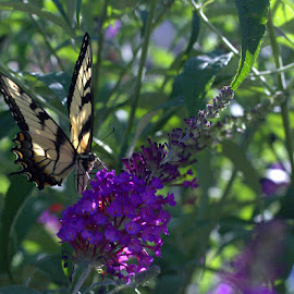Butterfly by Judy Soper - Animals Other ( butterfly, fragrant, ohio, fremont, summer, bush, flower )