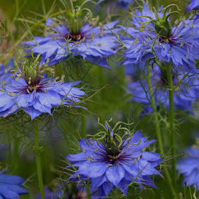 Field of Nigella Flowers by Robin Rawlings Wechsler - Flowers Flowers in the Wild ( nigella, petals, love in a mist, summer, bloom, flowers, blossom, wild flowers,  )