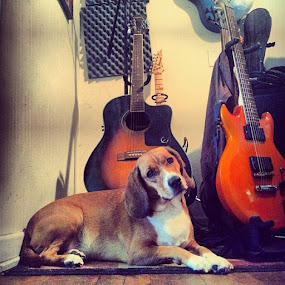 by Jamie Myers - Instagram & Mobile Instagram ( beagle, dog, pet, instapets, instapups, guitar,  )