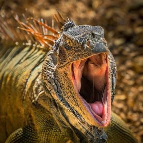 Yawning Iguana by Ed & Cindy Esposito - Animals Reptiles ( yawning, mouth, isla roatan, iguana, caribbean )
