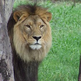 African Lion by Trevor Smart - Animals Lions, Tigers & Big Cats ( dubbo, lion, australia, male, nsw, western plains zoo,  )