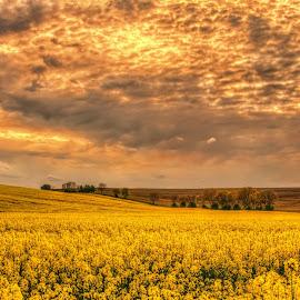 Yellow Fields by Darja Pavlacká - Landscapes Prairies, Meadows & Fields ( yellow fields )
