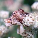 ambush bug