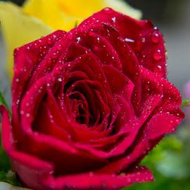 Red Rose by Shariq Khan - Flowers Single Flower ( close up, red rose, plant, flora, rose, ornamental, red flower, flower,  )