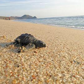 by Phil Bear - Animals Reptiles ( sea turtle, mexico, todos santos, hatchling, beach, turtle, baja )