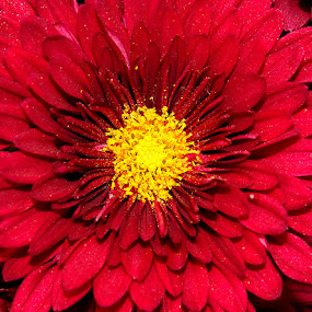 charming red by Srabani Mitra - Nature Up Close Flowers - 2011-2013 ( nature, flower )