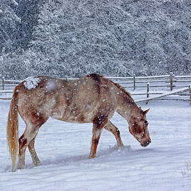 November Flurry by Twin Wranglers Baker - Animals Horses ( winter, snow, horse, appaloosa horse, appaloosa )