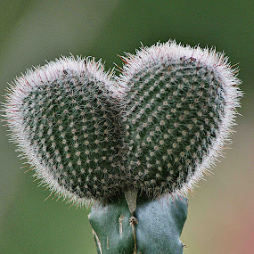 love in kaktus by Dika Anggara - Nature Up Close Other plants