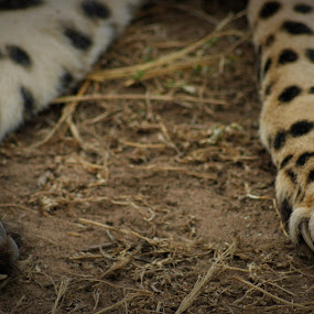 Cheetah Claws by Jason C Robinson - Animals Lions, Tigers & Big Cats ( claws, close up, africa, predator, young, spots, cheetah, captive, south africa, big cat, furry )