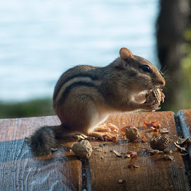 Breakfast by Nick Goetz - Animals Other Mammals ( peanuts, chipmunk, eating, morning )