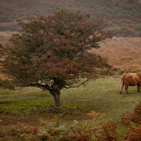 Bull & Tree by John Walton - Landscapes Prairies, Meadows & Fields ( #dartmoor, #bull, #autumn, #heritageficus, #tree )
