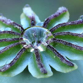 THE POPPY SEED  by Barbara Croft - Nature Up Close Water ( seed pod, macro photography, nature. flower, raindrops )