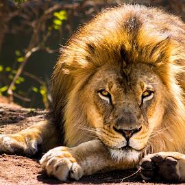 Lion Chillin:   by Lloyd Lande - Animals Lions, Tigers & Big Cats ( phoenix zoo, lion, male, natural habitat )