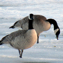GEESE by Cynthia Dodd - Novices Only Wildlife ( winter, nature, snow, wildlife, geese, birds )