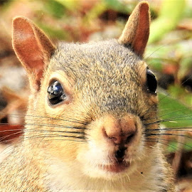 Portrait of a squirrel by Mary Gallo - Animals Other Mammals ( nature, wildlife, portrait, closeup, squirrel, mammal, eyes, animal )