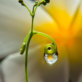 1 dew by Muhamad Firman - Nature Up Close Flowers - 2011-2013