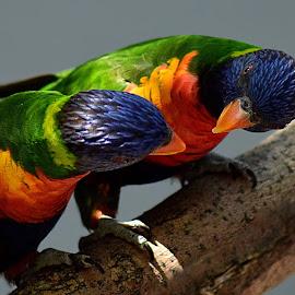 Lorikeet Pair by Shawn Thomas - Animals Birds