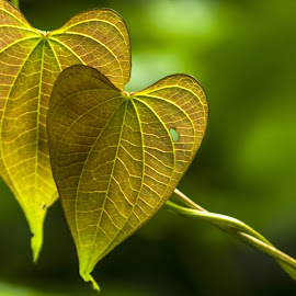 Two Hearts, His and Her's by Vishwas Watwe - Nature Up Close Leaves & Grasses ( hearts, heart, nature, his and hers, green, tender, leaves )
