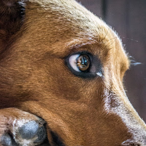 Copper by Mat Hockett - Animals - Dogs Portraits