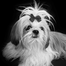 SOPHIE by Luis Hernandez - Animals - Dogs Puppies ( puppy, perro, blanco, portrait )