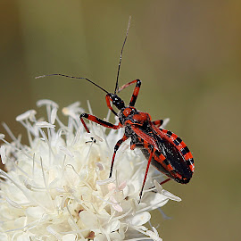 Bug on wildflower by Renata Ivanovic - Animals Insects & Spiders ( nature, wildflower, bug, insects, close up )