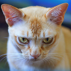 Tom by Caroline Beaumont - Animals - Cats Portraits ( orange cat, male cat, red burmese cat, ginger cat, burmese cat )