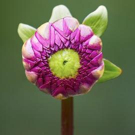 Dahlia 9898~ 1 by Raphael RaCcoon - Flowers Flower Buds