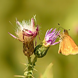 Butterfly by Radu Eftimie - Animals Insects & Spiders ( pink, yellow, flower, butterfl )