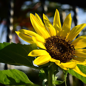 Sunflower by Gi Masangya - Nature Up Close Flowers - 2011-2013 ( nikon photography, nikon d3100, nature, nikon camera, sunflower, nikon, philippines, flower )
