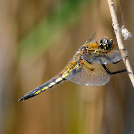 Four-spotted chaser by Ricardo Costa - Animals Insects & Spiders ( anisoptera, odonata, portugal, dragonflies )