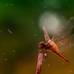 Flying in the rain by Calvin Chan - Animals Insects & Spiders