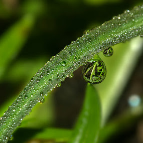 morning dew... by Rose Roses - Nature Up Close Water ( drops,  )