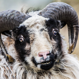 Wild Sheep by Fred Øie - Animals Other ( nature, sheep, animal )
