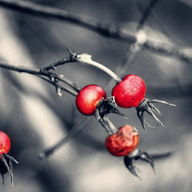 Rose hips  by Todd Reynolds - Nature Up Close Other plants