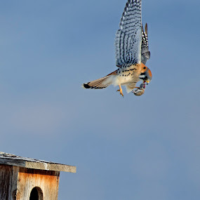 Kestral  by Cody Hoagland - Animals Birds