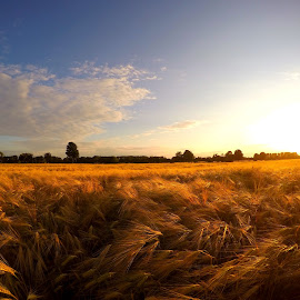 Sunset in cornfield by Nicki Aufrichtig - Landscapes Prairies, Meadows & Fields ( nickiaufrichtig, wheat, countryside, wallpaper, yellow, cereals, landscape, country, field, barley, nature, autumn, sunny, sunset, outdoor, summer, sunshine, germany, harvest, evening )