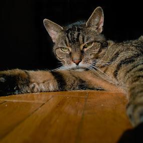 My cat and winter sun :-) by Krzysiek Roznowski - Animals - Cats Portraits ( cat, grey, winter sun, wroclaw, poland )