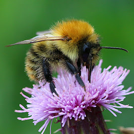 Feeding Bumblebee by Chrissie Barrow - Animals Insects & Spiders ( orange, wild, thistle, purple, thorax, green, furry, bumblebee, abdomen, yellow, insect, macro, wings, proboscis, head, black, closeup, animal,  )