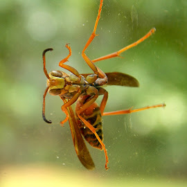 Wasp  by Nicole Nicolodi - Animals Insects & Spiders