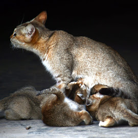 Kittens  by Asif Bora - Animals - Cats Kittens (  )