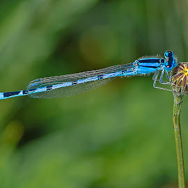 Damselfly by Debora Garella - Animals Insects & Spiders (  )