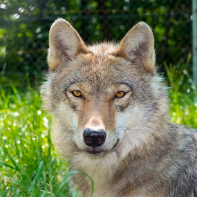 European gray wolf (Canis lupus lupus) by Lajos E - Animals Other Mammals ( hungary, canids, canis, europe, green, forest, wolves, gray, woods, portrait, mammal, predator, canid, carnivore, european, wolf, lupus, summer, head, canidae,  )