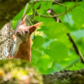Red squirrel by Tomasz B. - Animals Other Mammals ( red, squirrel, forest, green, leafs, nature, red squirrel, animals, leaf, forests )