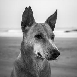 monochrome dog  by Charan Vicky - Animals - Dogs Portraits ( monochrome, dog, portrait, eyes )