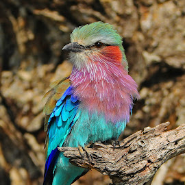 An African Bird! by Anthony Goldman - Animals Birds ( rainbow, nature, bird, lilac breasted, londolozi, roller, wild, colors, wildlife,  )