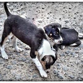 Puppies by Ramya Bharathi - Animals - Dogs Puppies