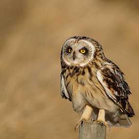 Short-eared Owl by Hans Olav Beck - Animals Birds ( 2017, mountain, april, spring, norway, short-eared owl )