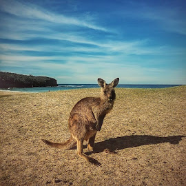 Kangaroo @ Pebbly beach by Aju George - Animals Other Mammals