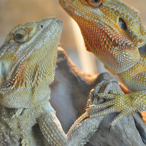In Love by Savannah Eubanks - Animals Reptiles ( bearded dragon, two, lizards,  )