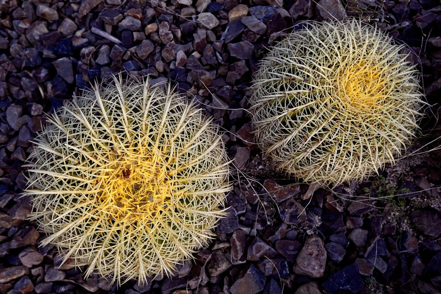Two Yellow Cacti  by Brett Styles - Nature Up Close Other plants ( rocks, nature, plants, yellow, cactus,  )